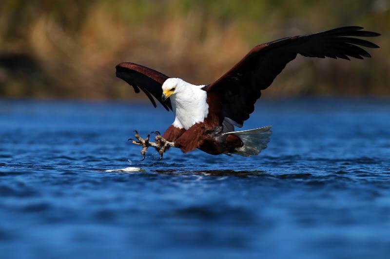 bald eagle swooping down to lake